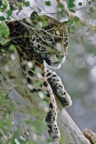 A jaguar dozes in a tree. (Photo by Fred Hood/FelidFoto.com)