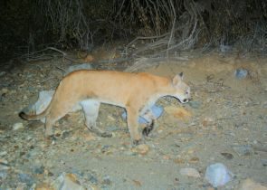 A mountain lion triggers an automatic camera at a monitoring site in the Tucson Mountains.