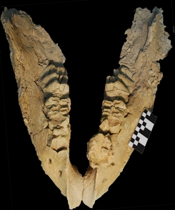 Gomphothere mandible uncovered at El Fin del Mundo. Archaeologists working in northwestern Mexico were not sure what kind of animal they had unearthed until they found this telltale jawbone, which belonged to a gomphothere (Photo: Joaquin Arroyo-Cabrales)