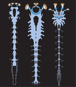 Illustration of the nervous systems of the Alalcomenaeus fossil (left), a larval horseshoe crab (middle) and a scorpion (right). Diagnostic features revealing the evolutionary relationships among these animals include the forward position of the gut opening in the brain and the arrangement of optic centers outside and inside the brain supplied by two pairs of eyes. (Illustration: N. Strausfeld/UA)