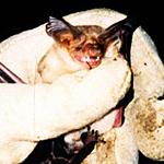 Pallid bats feature inch-long ears and light yellowish fur. (Photo: Sandy Wolf)