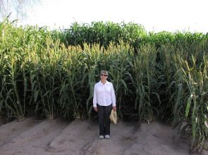 Sorghum could be the biofuel crop of Arizona. Varieties of sorghum planted as an experimental crop were harvested and juiced this year into ethanol. (Photo courtesy of Mike Ottman)