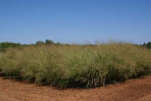 Amber waves of desert switchgrass: another potential biofuel crop that thrives in arid climates. (Photo courtesy of Mike Ottman)