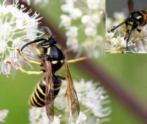 In colonies of tree wasps (Dolichovespula sylvestris), the individuals that police the reproduction of workers are more likely to cheat and lay eggs themselves, but overall, they maintain high levels of order in the colony. (Photo: M.Chevriaux)