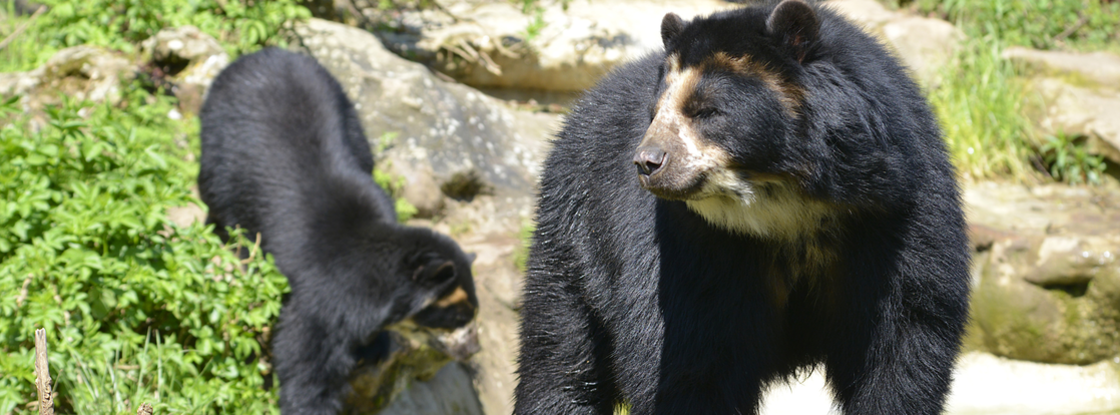 The Andean bear is threatened through hunting and loss of habitat in Colombia. Students in the UA School of Natural Resources and the Environment study local, national and international endangered species and conservation efforts. (Photo: iStock)