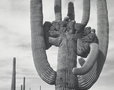 """Saguaro National Monument,"" taken by Adams in 1942"