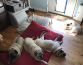 In their defense, pugs are not considered part of the working dog group. This is (from left to right) Trudy, Fred, Tank and Wubby. – Dee Belle-Oudry, interim associate department head for education and academic affairs and director of academic services, Department of Chemistry and Biochemistry