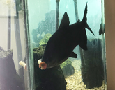 This is Hercules, our pacu! He's our composter. – Debbie Claggett, senior design course coordinator, College of Engineering