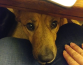 "Attached is a photo of my son's dog, Abbie, who was my personal assistant last week. She sat underneath the table I was using to work on and popped up to say ""hi."" – Liz Hague, administrative associate, Center for Gamma-Ray Imaging"