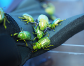 Many of the insects on display live and thrive in the southwestern U.S. and northwestern Mexico, such as the metallic southern Arizona beetles.