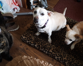 My three new supervisors, from left to right: Mochaccino, Macayley and Thor. – Cindy Klatte, mental health clinician, Counseling and Psych Services