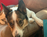 Mika has been helping me work from home. She can be a bit of an attention hog but look at that face! – Juliana Lincoln, academic adviser, College of Agriculture and Life Sciences