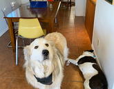 I have three dogs of my own, and am dog-sitting for my colleague, Colleen Loomis. I'm running a 1,350-square-foot petting zoo, essentially. My dog, West, is laying down. He's pretty aloof. Colleen's dog, the Colonel (it's fitting, right?), likes keeping me company – and it's appreciated. They like to congregate when I'm working from the kitchen table, because they rightly assume snacks will follow. – Emily Litvack, science writer in Research, Innovation and Impact
