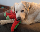 Jasper has been a welcome partner through social isolation, but not the most productive co-worker – he takes far too many naps. – Danielle Oxnam, executive assistant in the Office of University Initiatives