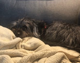 Charlie lounges in the sectional corner nook while I compile the daily news summary. – Nick Prevenas, senior news writer and media relations assistant in the Office of University Communications