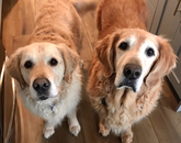 """This is how he and his """"brother"""" Jack (also a golden) started their day as my assistants …. It all went downhill from there. – Lisa Romero, senior director for public affairs and communications at the BIO5 Institute"""
