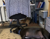 This is my makeshift office in Sierra Vista. I had been on several Zoom meetings in the morning and the dogs got really comfy! Sheba and Luda love work-from-home! – Elisabeth Tyndall, early childhood education specialist, Cooperative Extension
