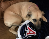 A benefit to Mom working from home is that Sadie gets her favorite blanket laundered more frequently. Here she is all snuggled up, with her University of Arizona blanket fresh out of the washer. – Amy Warren, administrative assistant, Department of Spanish and Portuguese