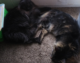 The black fluffy cat is Alucard and the other is Vincent (both boys). My fur babies-turned-colleagues are keeping me company during my work hours. They also remind me when it is lunchtime, when it's naptime, and when to get some sunshine. – Lydia Watts, administrative secretary, Yavapai County Cooperative Extension office