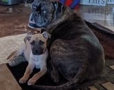 Mae (boxer) and Miles (shepherd mix) lovin' on each other! – Wendy Wienhoff, director of management information systems career management, Eller College of Management