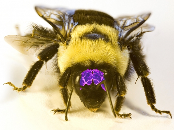 A bumble bee with an image of its brain to scale superimposed on its head