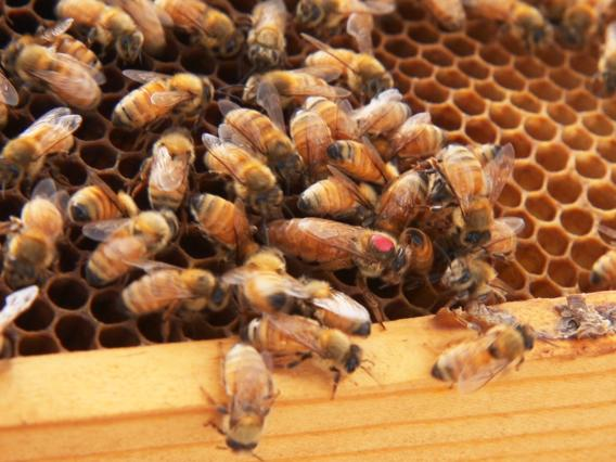 The queen bee, recognized by her larger size and marked with a red dot so the scientists can keep track of her more easily, can live for years, while the worker bee's lifespan is measured in weeks.