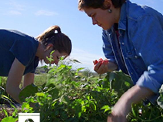 Morgan Lundy  and her fellow BARA interns harvest tomatoes and peppers at Las Milpitas de Cottonwood Community Farm.