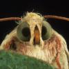 Pink bollworm moth