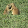 Black-tail prairie dogs 'greet kissing'