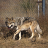 The Mexican wolf has been listed as an endangered species since 1976.