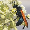 a tarantula hawk wasp on a flower