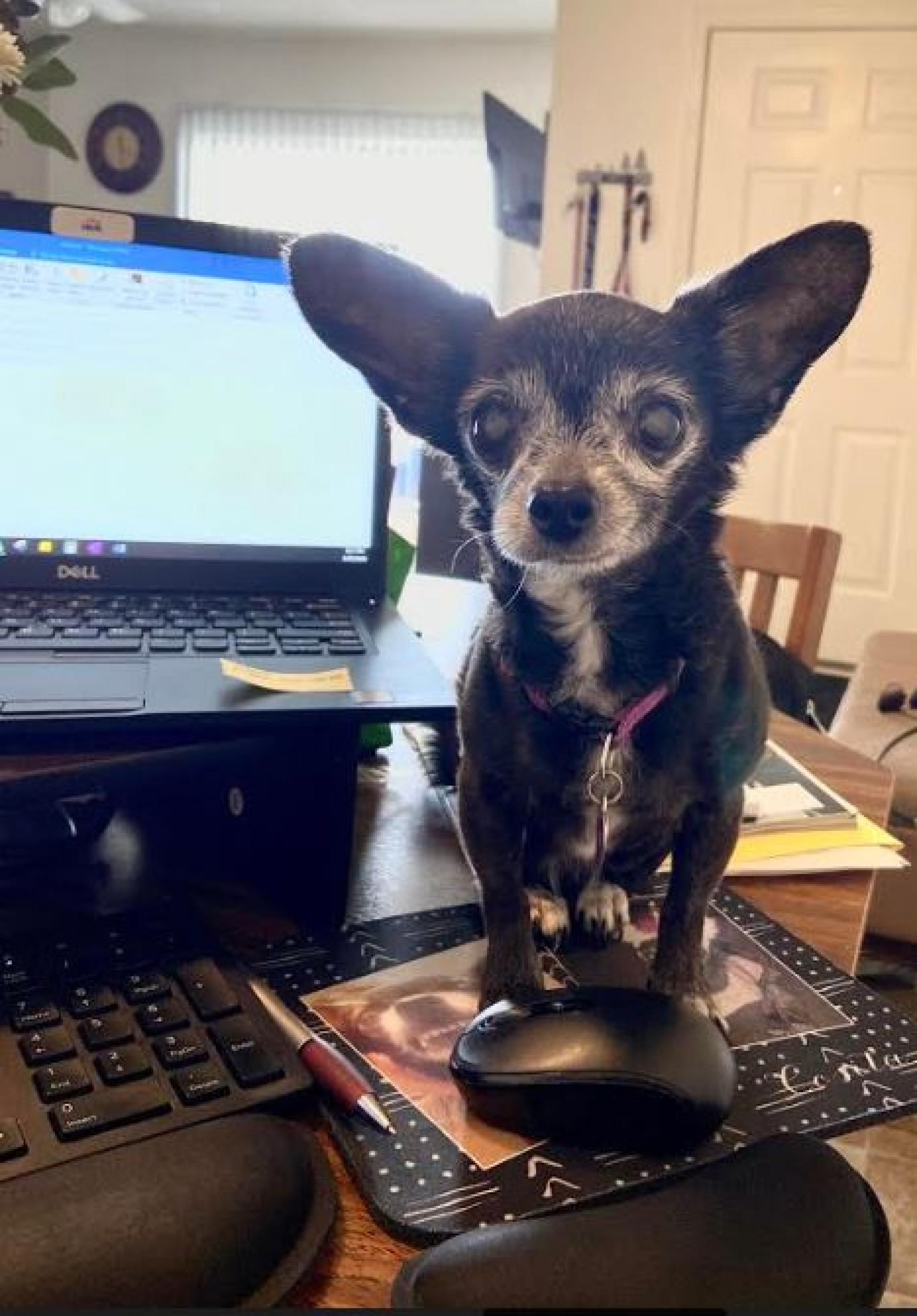 I thought I would share my precious new co-worker. Here is Cosita reporting for duty! The new girl is a bit of a diva – she demands attention and is constantly hiding in a blanket taking a nap. – Amanda Burkey, administrative assistant in the Division of