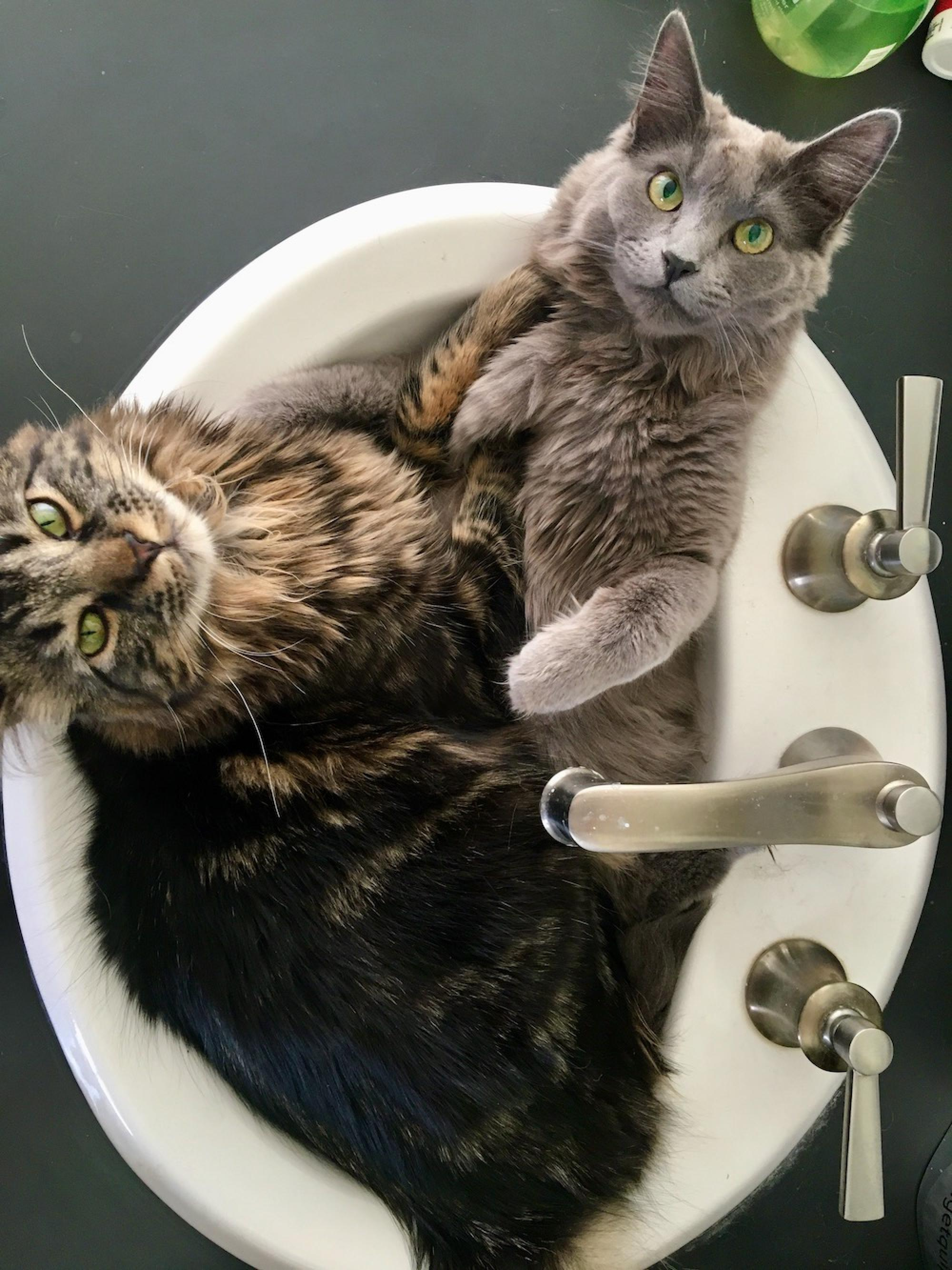For some reason, Cleo  and Mouse like to sit in the sink when I get ready in the morning. – Pila Martinez, senior director for strategic communications, Office of University Communications