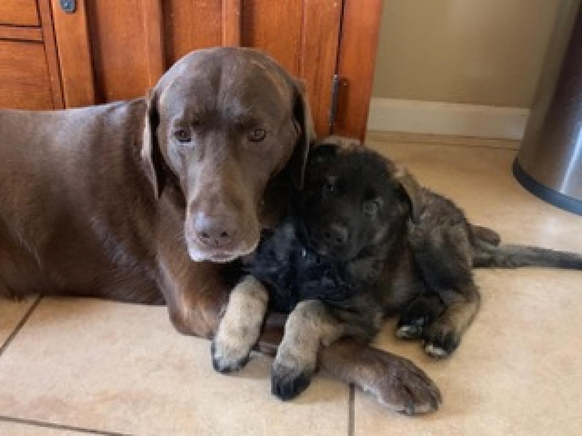 Loki and Kaiser are definitely the cutest! Loki is the chocolate Lab and Kaiser is the German shepherd pup. – Linda L. Denno, interim dean, College of Applied Science and Technology