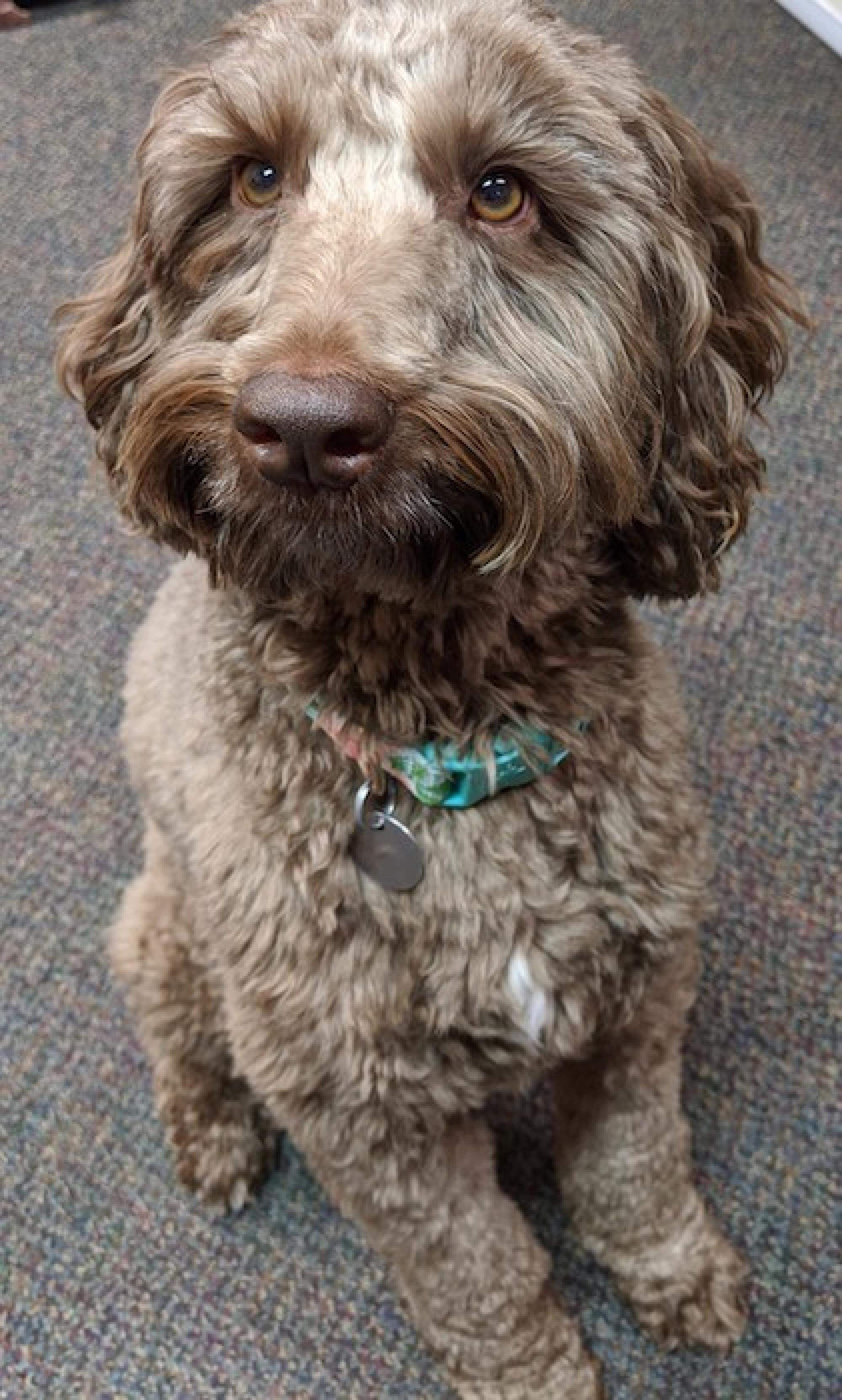 "This is LuLu, my labradoodle, reporting for ""work"" at the start of the day. – Susan C. Ellis, associate specialist for medical education, Department of Medicine"