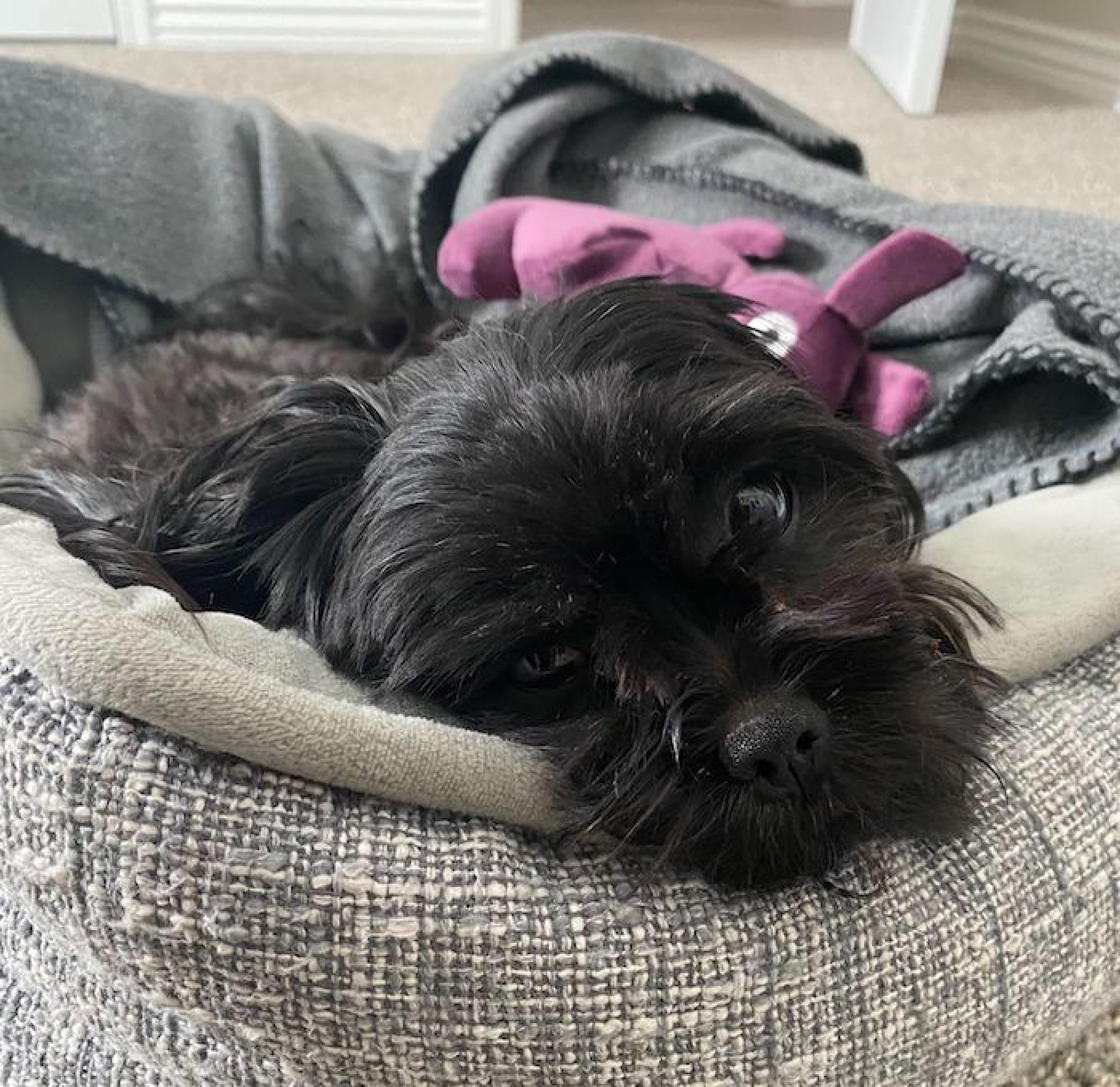Carmella curls up in her bed the moment she sees I'm going to my home office. She somehow knows that if she doesn't behave while I Zoom, I will put her away in the other bedroom. – Jessica V. Estrella, art director, Marketing and Brand Management