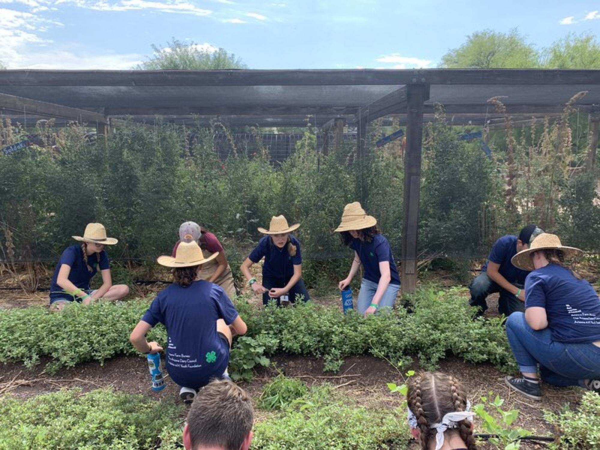 As part of their community service projects, 4-Hers tended the garden at the Tucson Village Farm, a seed-to-table program designed to reconnect young people to a healthy food system, teach them how to grow and prepare fresh food, and empower them to make