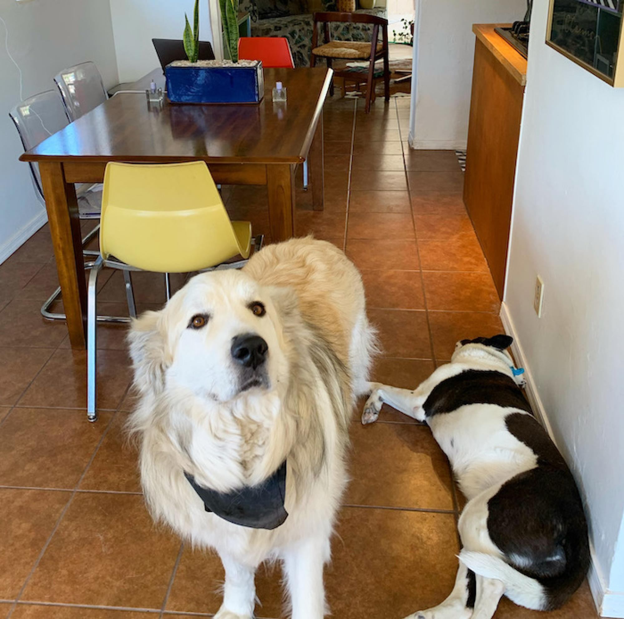 I have three dogs of my own, and am dog-sitting for my colleague, Colleen Loomis. I'm running a 1,350-square-foot petting zoo, essentially. My dog, West, is laying down. He's pretty aloof. Colleen's dog, the Colonel , likes keeping me company – and it's a