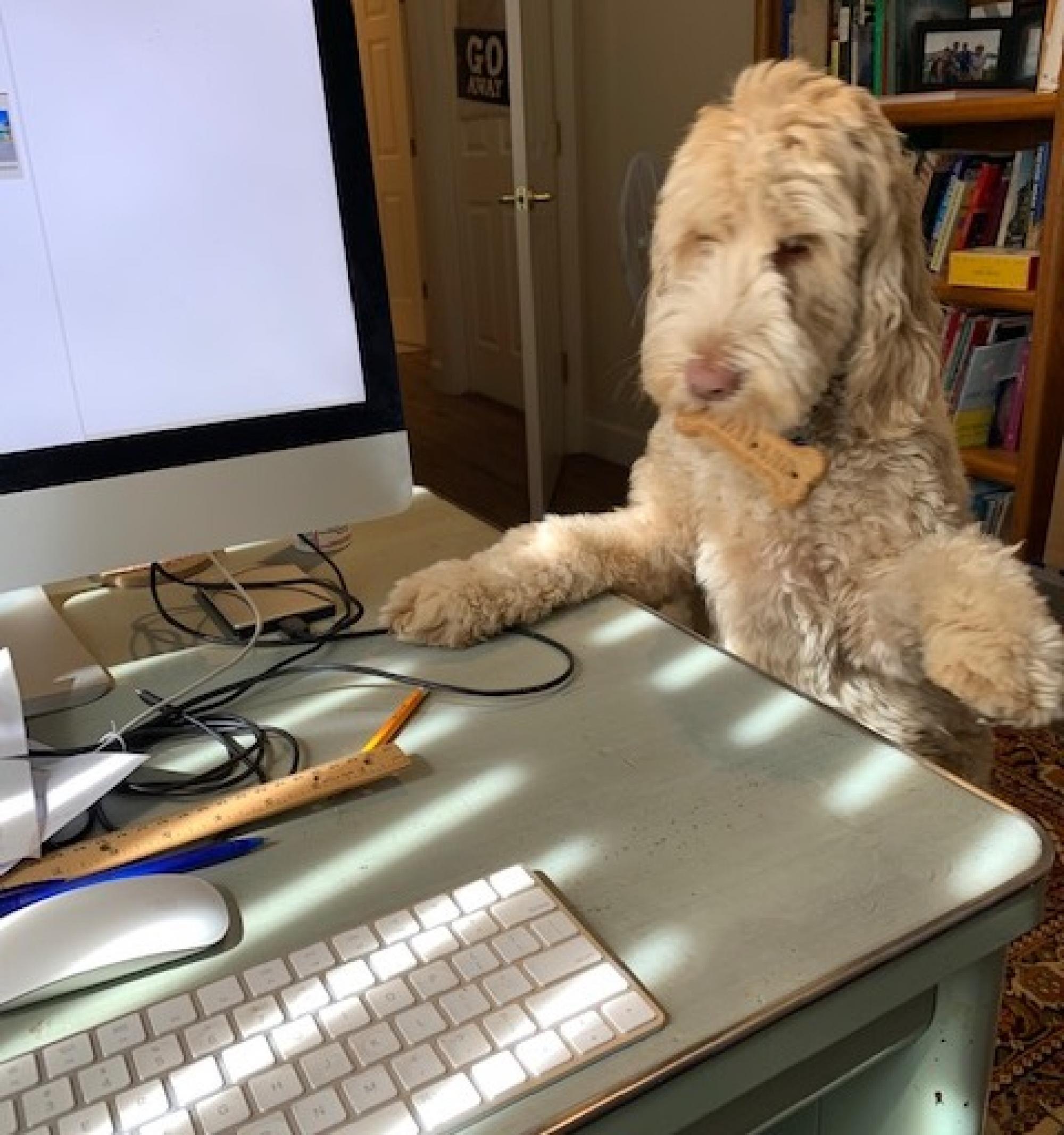 This is my Labradoodle, Kiki. As you can see by her bone, we are having a meeting over lunch. – Diana Lohr, clinician in Counseling and Psych Services