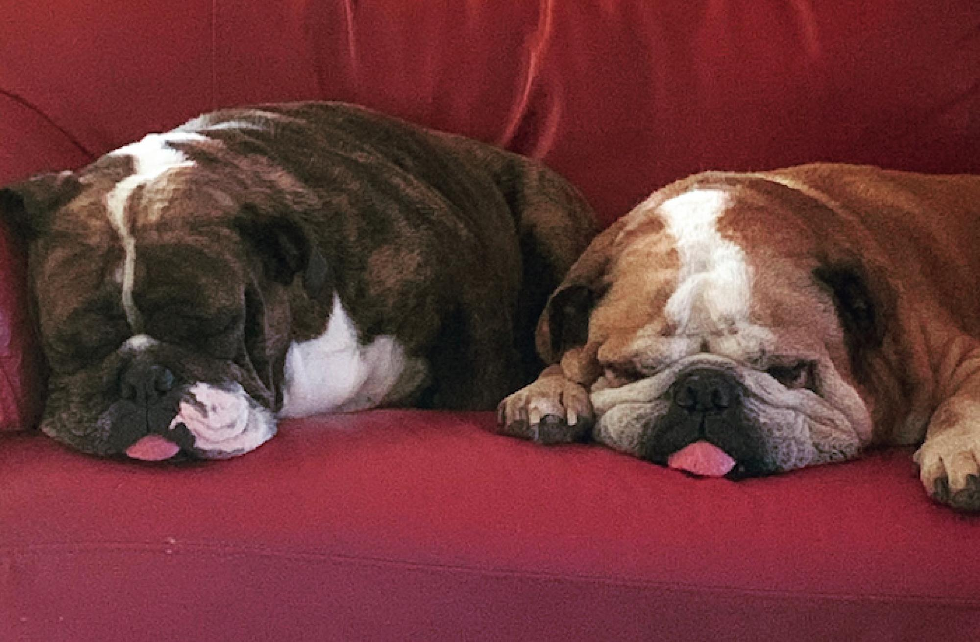 Two of my co-workers, English bulldogs Scarlett and Nigel, asleep on the job. – Jessica Stephens, marketing specialist at Arizona Public Media