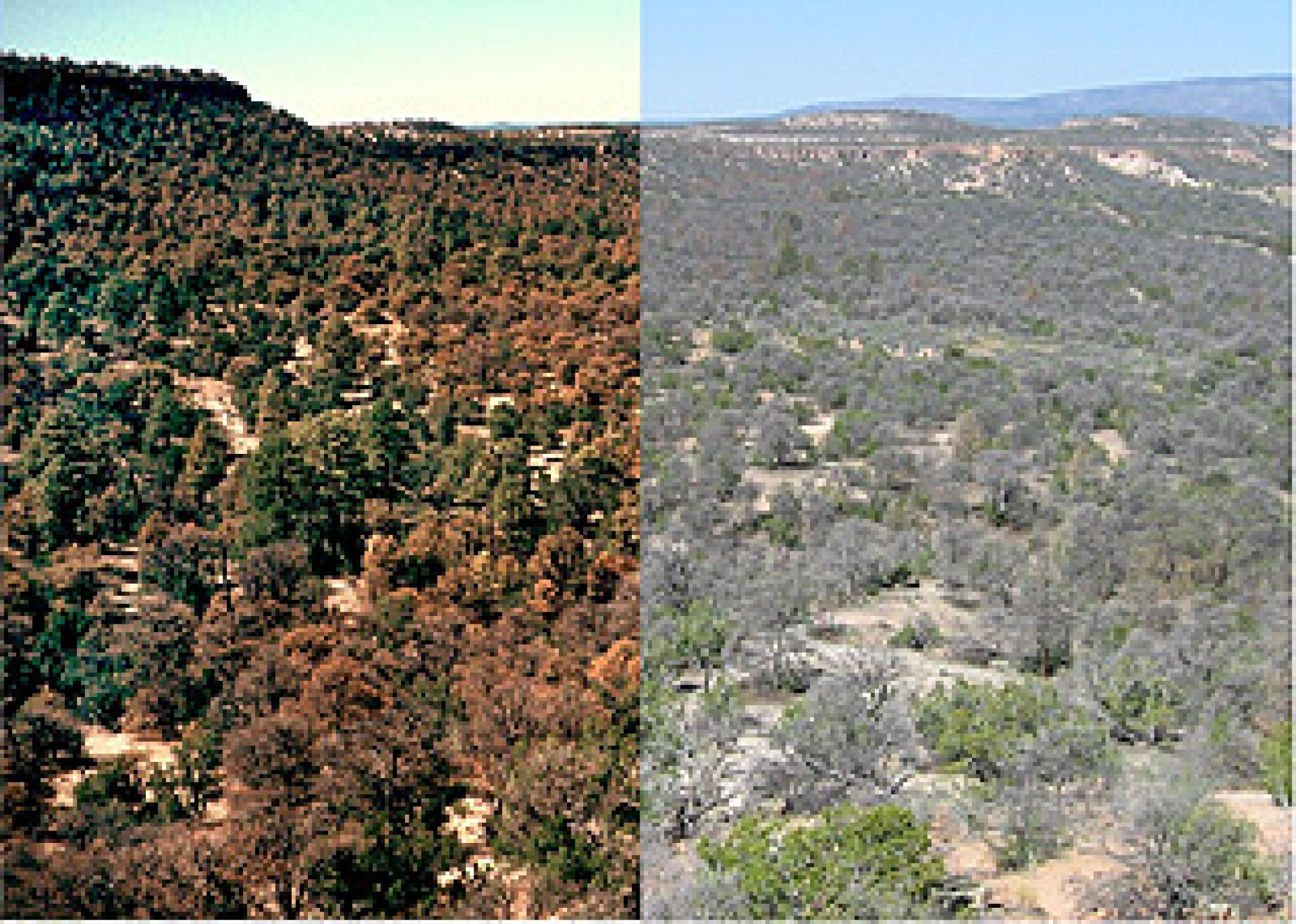 These photos show the massive die-off of pinyon pines that occurred during the recent drought. Pinyons, normally evergreen, have reddish-brown foliage in October 2002 . By May 2004, the dead pinyons have lost all their needles, exposing gray trunks. The p