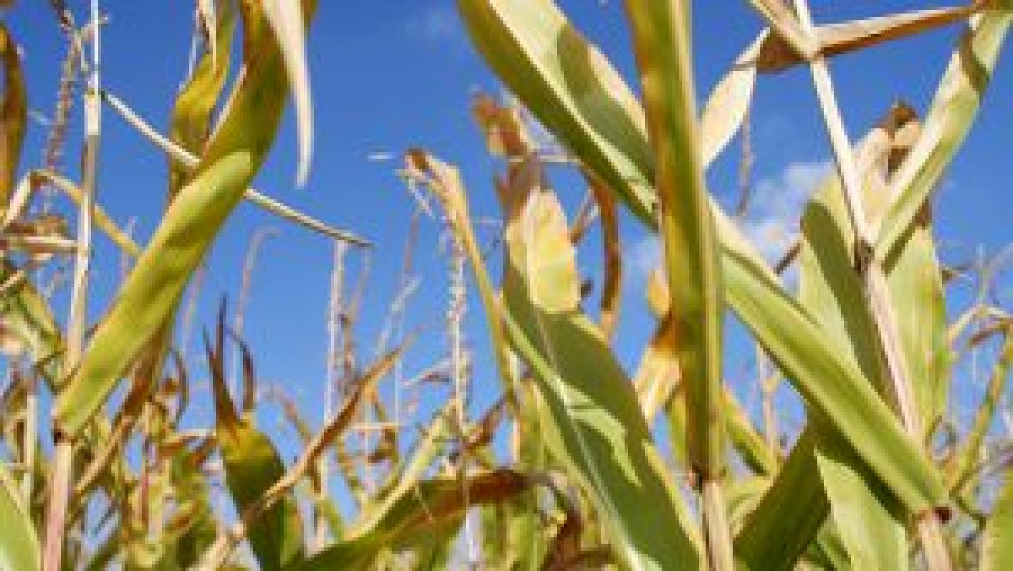 Contributions also include decoding the rice and corn genomes as a foundation for improving cereal crops worldwide.