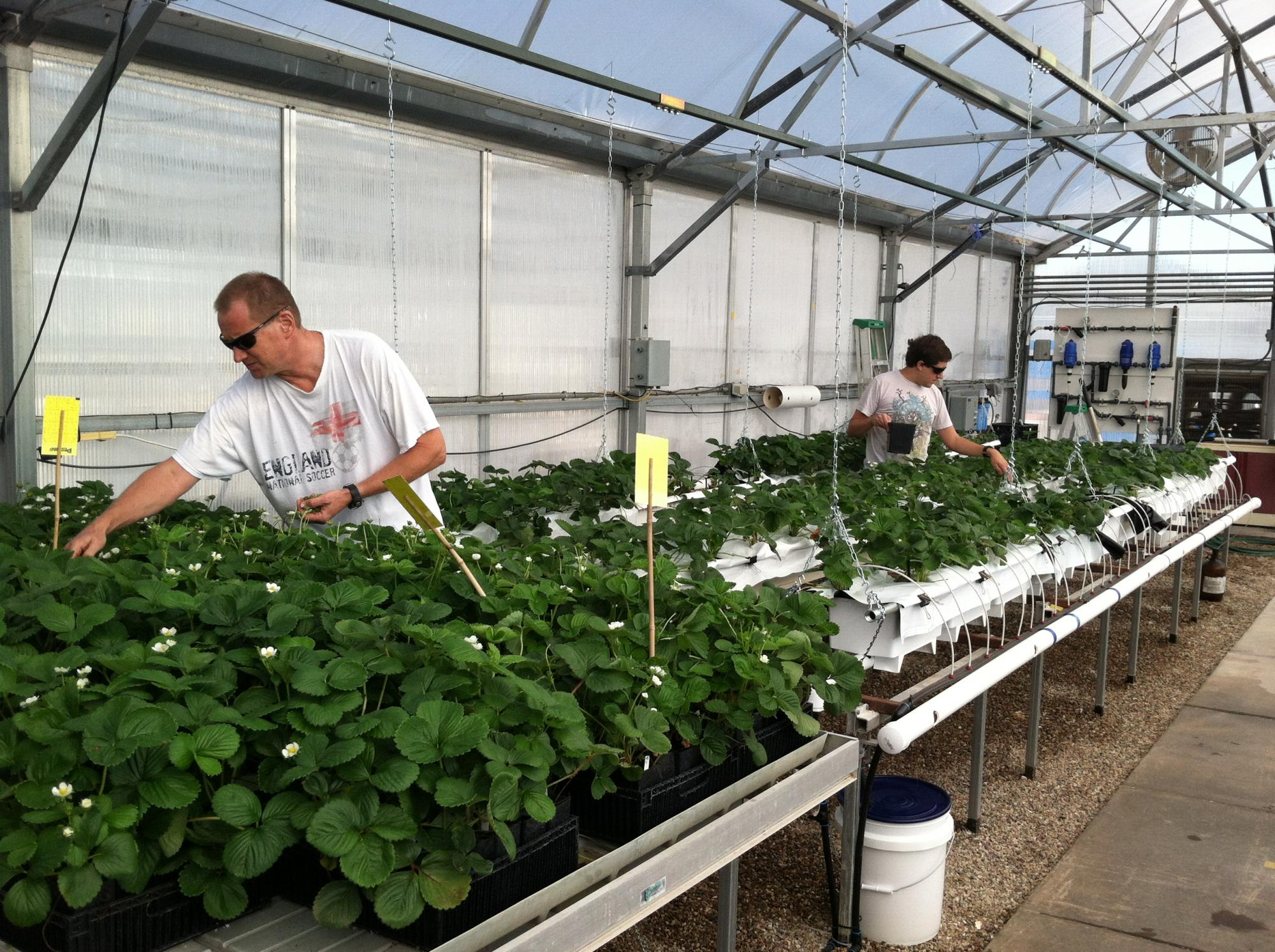 Research specialist Mark Kroggel  and graduate student Michael Whalen work on strawberry plants in the UA greenhouse.
