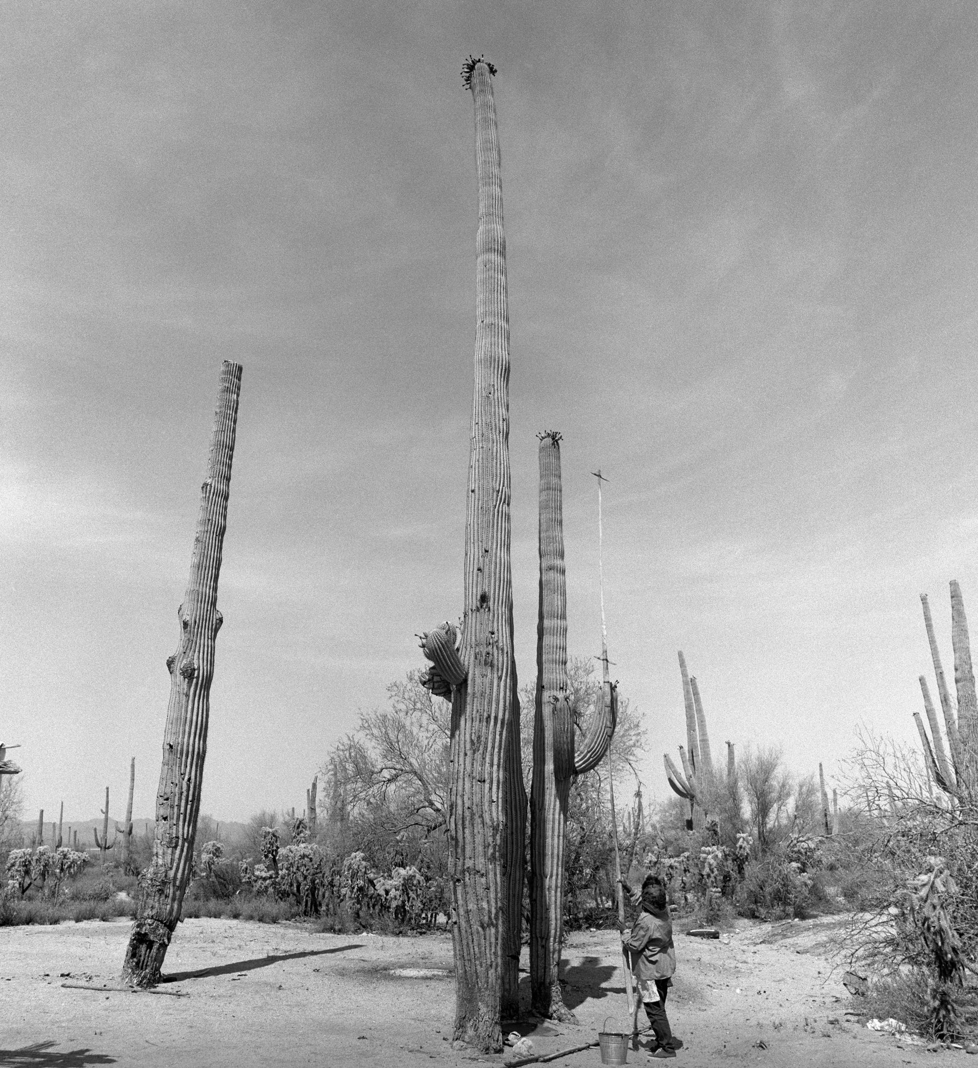 Helga Teiwes took this 1970 image of Juanita Ahill collecting saguaro fruit in the Saguaro National Park West.