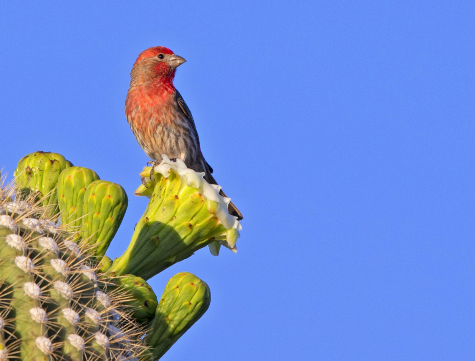 House finch colors itself with 24 carotenoid compounds derived from diverse dietary sources, such as saguaro pollen.