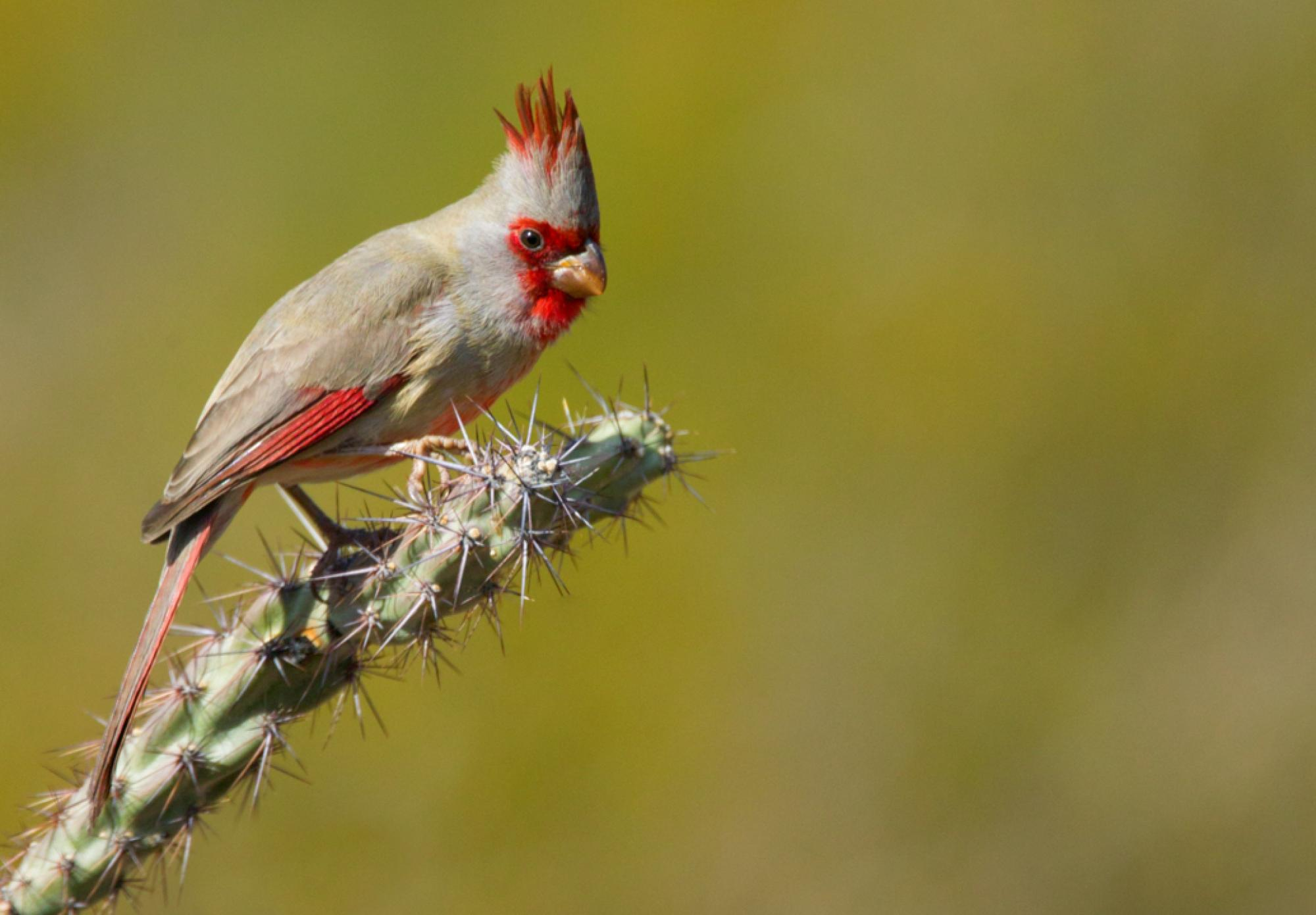 A combination of 16 different carotenoids make up striking coloration of male pyrrhuloxia.