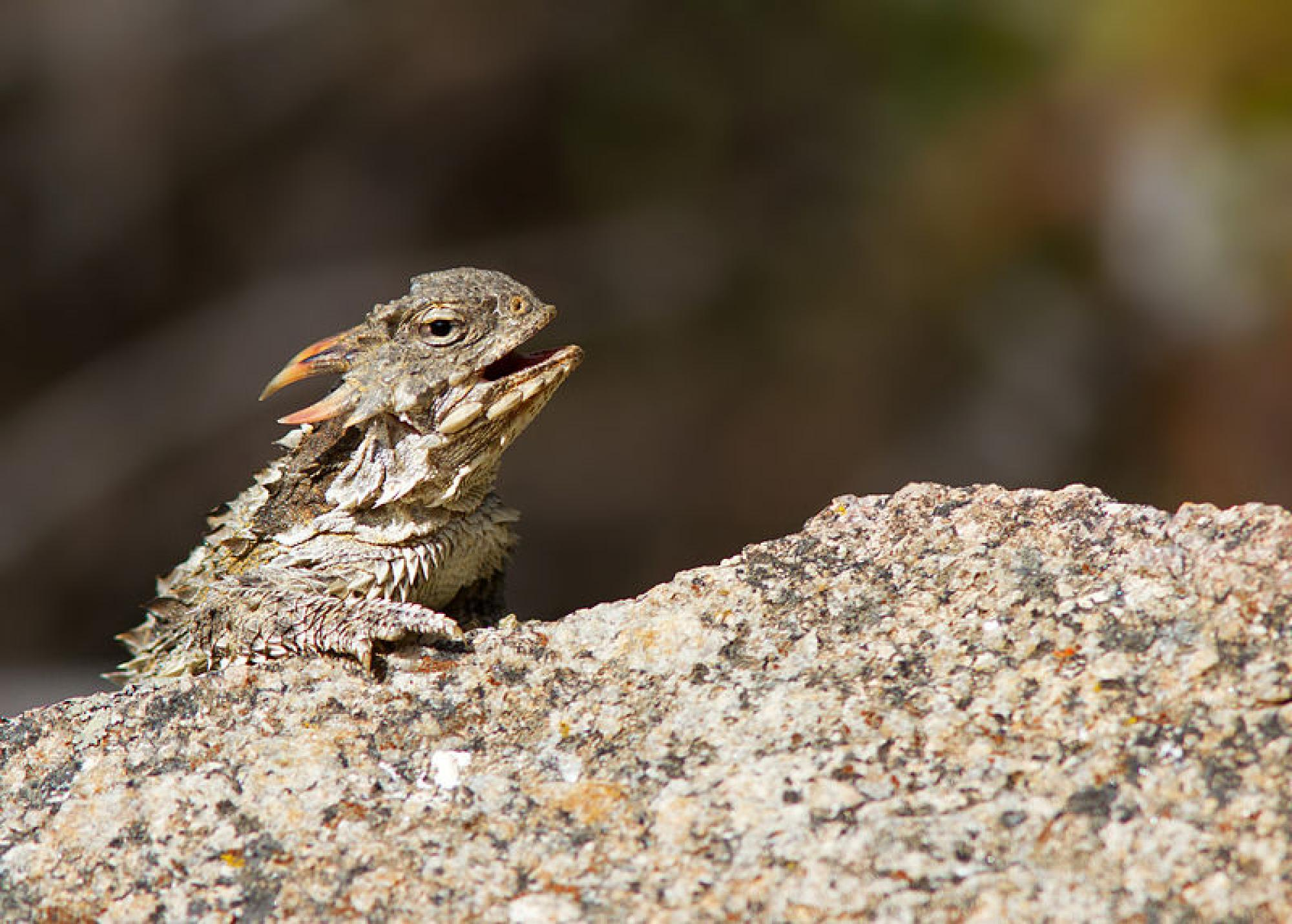 Horned lizards belong to a group of reptiles called iguanians.