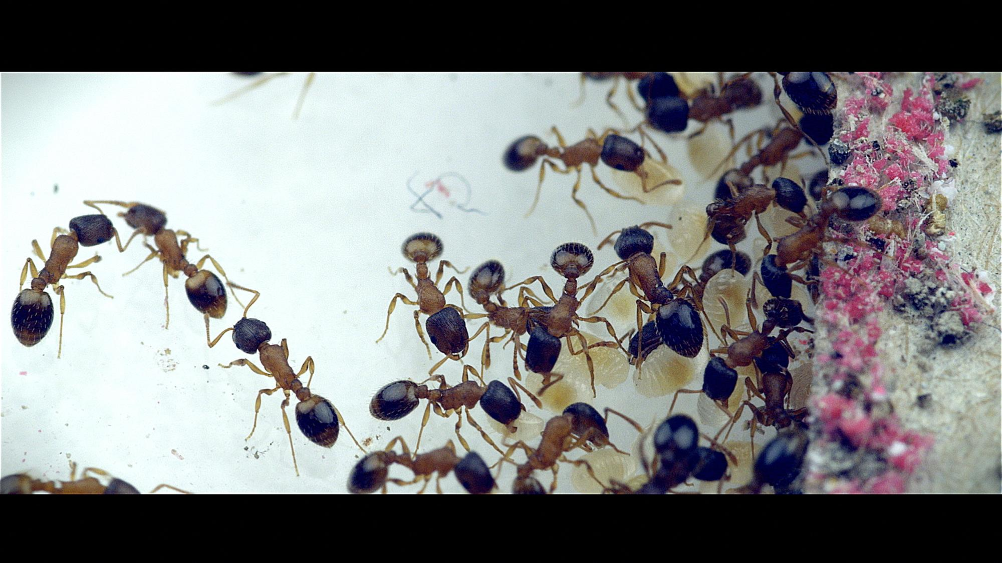 Ants of the species Temnothorax rugulatus live in mountainous areas of the Southwest. Here, workers perform chores inside a nest in the lab.