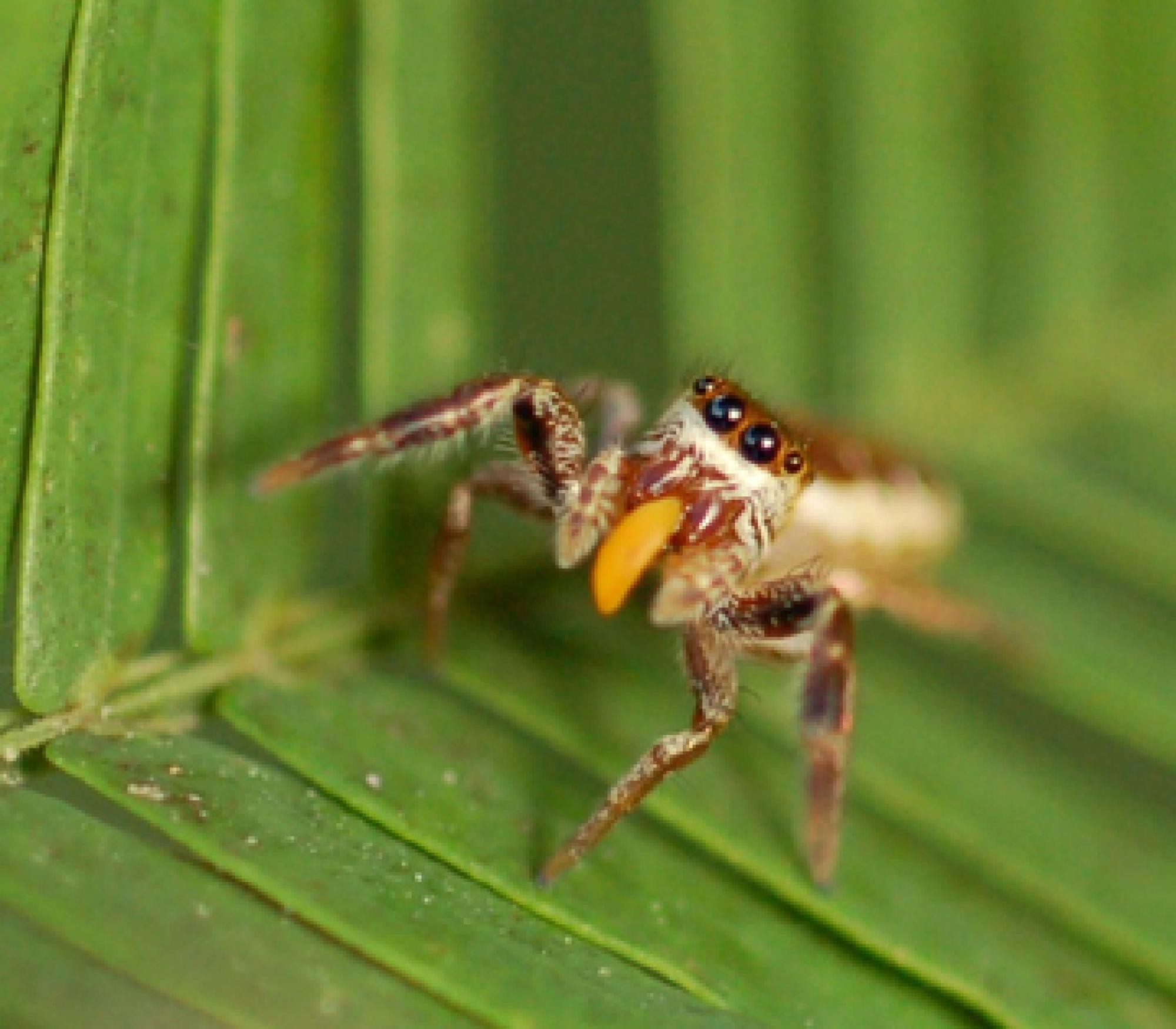 Adult female Bagheera kiplingi eats Beltian body harvested from ant-acacia.