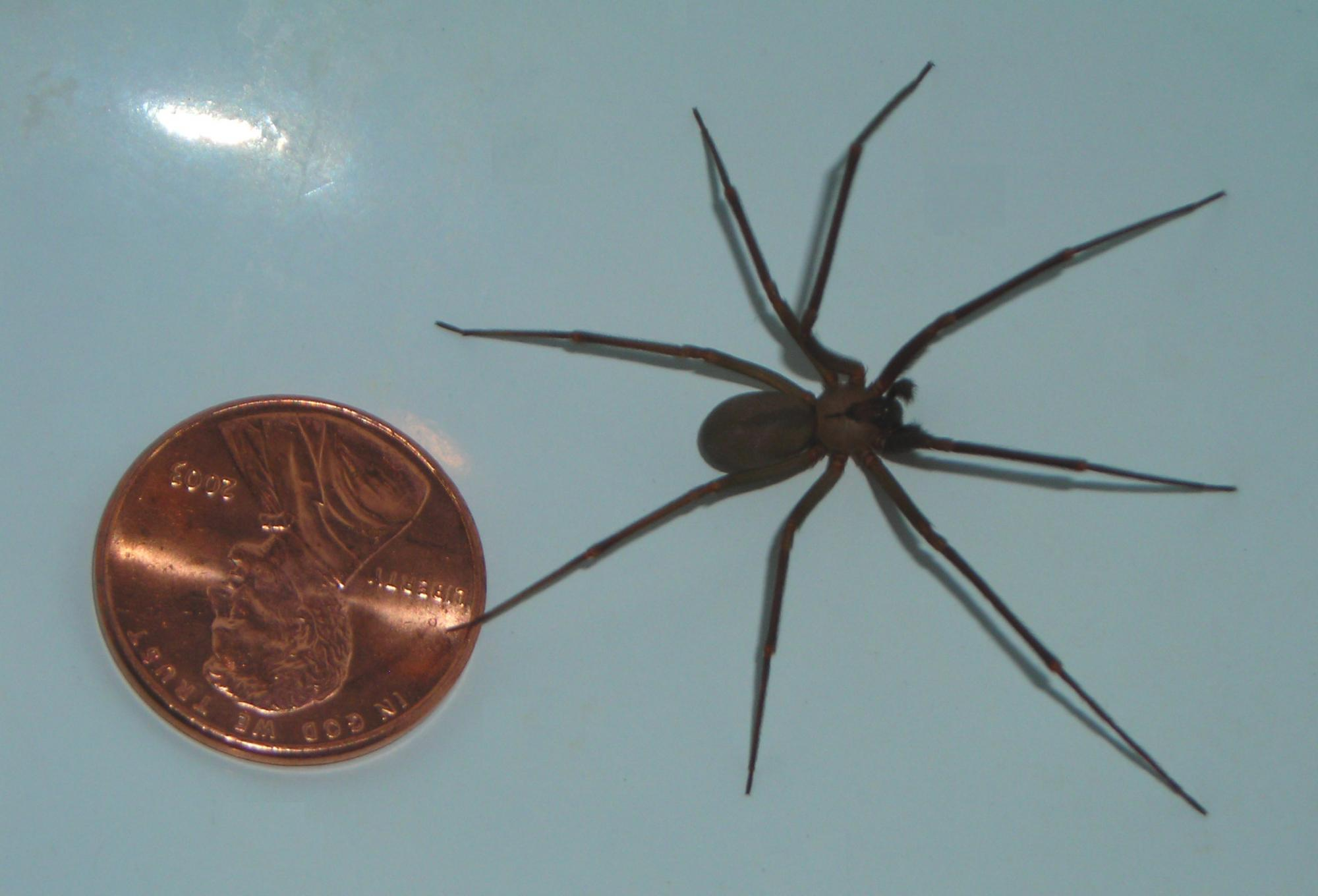 Though extremely rare, the bite of the long-legged brown recluse spider can be one of the most toxic to humans of all spider bites, causing blackened lesions or a dangerous systemic reaction.